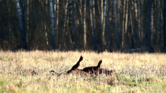 vídeos y material grabado en eventos de stock de bisonte europeo - pata com garras