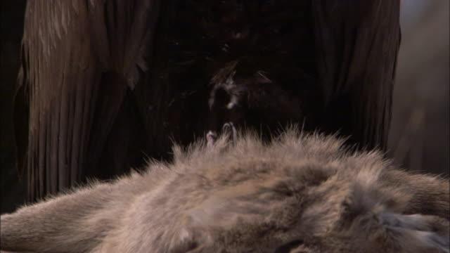 vidéos et rushes de european black vulture scavenges on deer carcass, russia - vautour moine