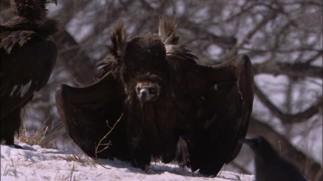 vidéos et rushes de european black vultures fight over deer carcass, russia - vautour moine