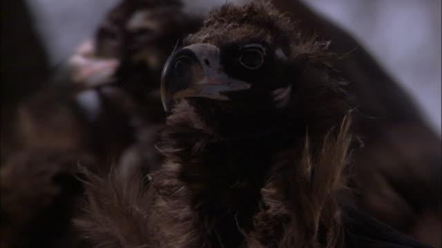 vidéos et rushes de european black vultures, russia - vautour moine