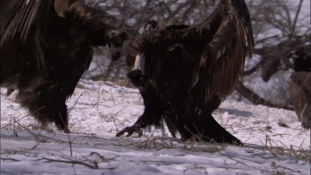 vidéos et rushes de european black vultures squabble over deer carcass, russia - vautour moine