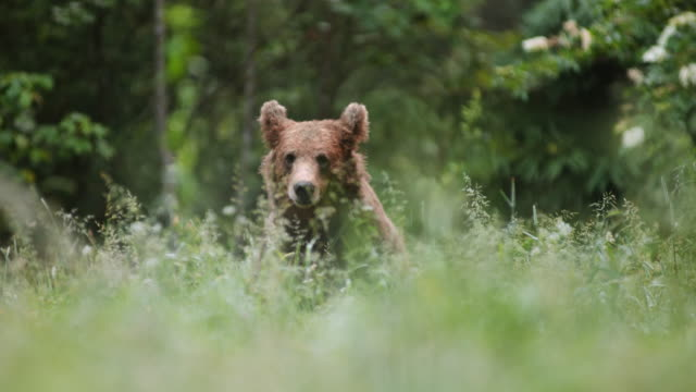 ld european brown bear feeding in the meadow - slovenia stock videos & royalty-free footage