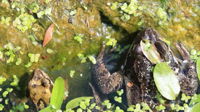 european common frog (rana temporaria) in a garden pond in ambleside, cumbria, uk, in spring - mollusc stock videos & royalty-free footage