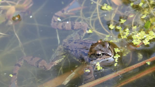 european common frog (rana temporaria) in a garden pond in ambleside, cumbria, uk, in spring - aquatic plant stock videos & royalty-free footage