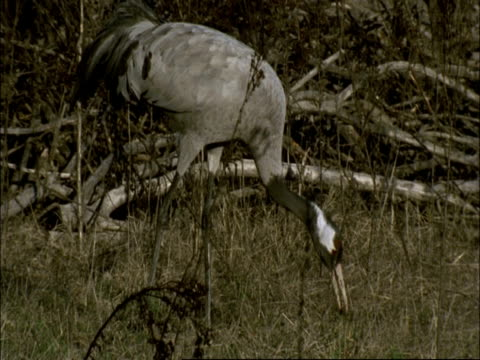 european crane (grus grus) carrying and eating snail, north-east extremadura in dehesa, spain - animal neck stock videos & royalty-free footage
