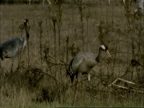 european crane (grus grus) carrying snail, north-east extremadura in dehesa, spain - animal neck stock videos & royalty-free footage