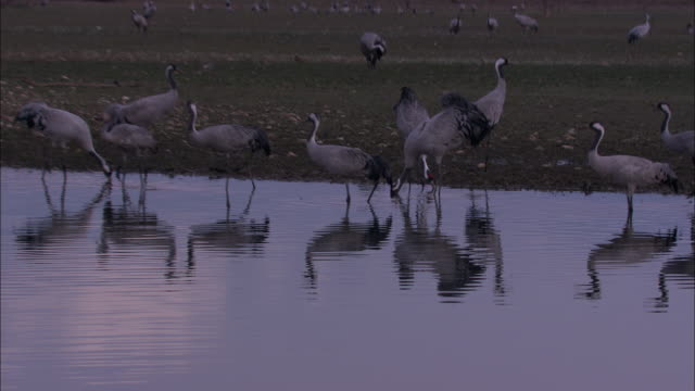 vídeos de stock, filmes e b-roll de european cranes (grus grus) adults and young at lake edge, north east extremadura in dehesa. cranes migrate south in winter from scandinavia and northern europe to spain and roost in large numbers mainly on lake shores. - onívoro