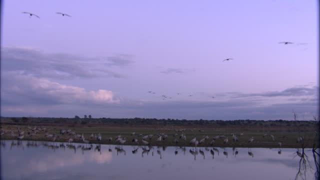 vídeos y material grabado en eventos de stock de european cranes (grus grus) at water's edge and in flight over lake, north east extremadura in dehesa. - cuello humano