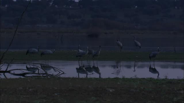 vídeos de stock, filmes e b-roll de european cranes (grus grus) drinking, feeding, medium shot, dehesa, extremadura, spain - grupo médio de objetos
