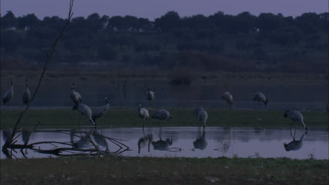 vídeos de stock, filmes e b-roll de european cranes (grus grus) drinking, feeding, medium shot, pull out, dehesa, extremadura, spain - grupo médio de objetos