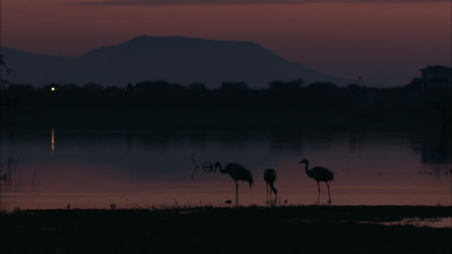 vídeos de stock, filmes e b-roll de european cranes (grus grus) foraging in early morning twilight, north east extremadura in dehesa. - onívoro