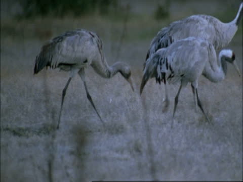 european cranes (grus grus) foraging, north-east extremadura in dehesa, spain - foraging stock videos and b-roll footage