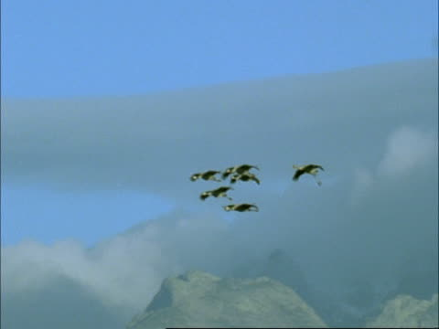 european cranes (grus grus) gliding; mountain background, north-east extremadura in dehesa, spain - medium group of objects stock videos & royalty-free footage