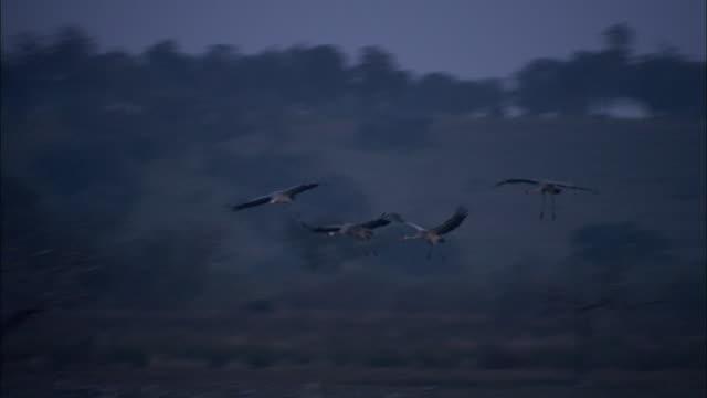 vídeos de stock, filmes e b-roll de european cranes (grus grus) in flight and landing on lake shore, north east extremadura in dehesa. - grupo médio de objetos