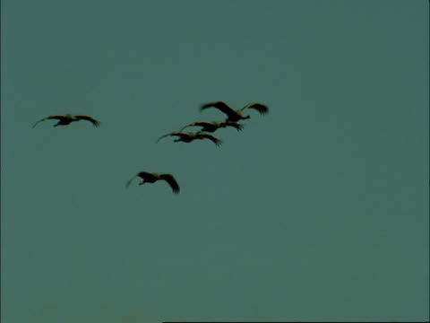 european cranes (grus grus) in flight, north-east extremadura in dehesa, spain - medium group of objects stock videos & royalty-free footage