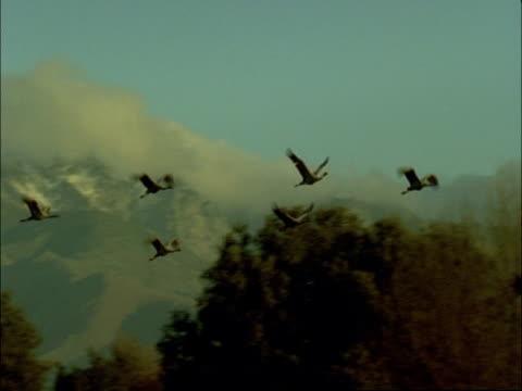 european cranes (grus grus) in flight over tree tops, north-east extremadura in dehesa, spain - einige gegenstände mittelgroße ansammlung stock-videos und b-roll-filmmaterial