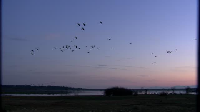 european cranes (grus grus) in flight over wetland, north east extremadura in dehesa. - eurasischer kranich stock-videos und b-roll-filmmaterial
