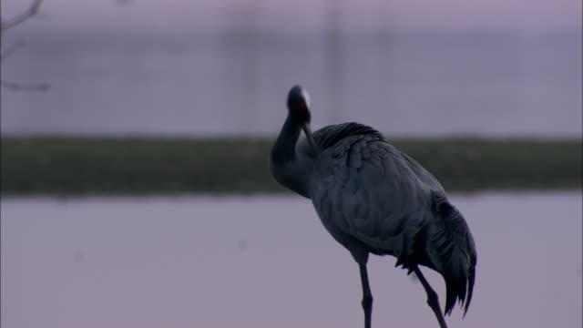 european cranes (grus grus) looking around, preening, north east extremadura in dehesa. - preening animal behavior stock videos & royalty-free footage