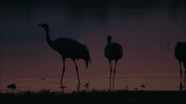 vídeos de stock, filmes e b-roll de european cranes (grus grus), north east extremadura in dehesa. the cranes migrate south in winter from scandinavia and northern europe to spain and roost in large numbers mainly on lake shores. they feed in the dehesas on acorns and invertebrates. - onívoro