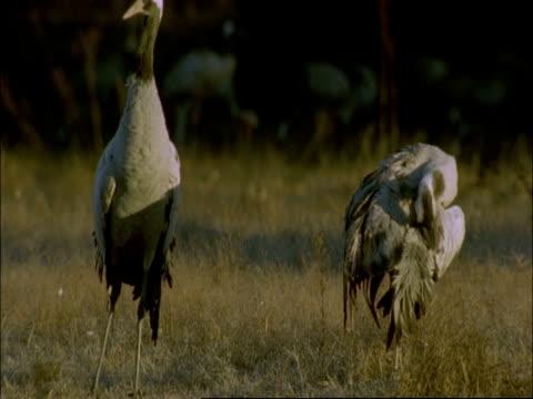 european cranes (grus grus) preening, north-east extremadura in dehesa, spain - preening animal behavior stock videos & royalty-free footage