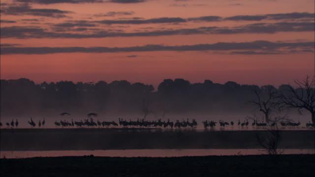 european cranes (grus grus) silhouetted beneath orange sky, north east extremadura in dehesa. - eurasischer kranich stock-videos und b-roll-filmmaterial