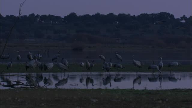 vídeos de stock, filmes e b-roll de european cranes (grus grus) standing around, drinking and feeding, dawn, dehesa, extremadura, spain - grupo médio de objetos