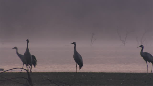 european cranes (grus grus) walking, north east extremadura in dehesa. the cranes migrate south in winter from scandinavia and northern europe to spain and roost in large numbers mainly on lake shores. they feed in the dehesas on acorns and invertebrates. - medium group of objects stock videos & royalty-free footage