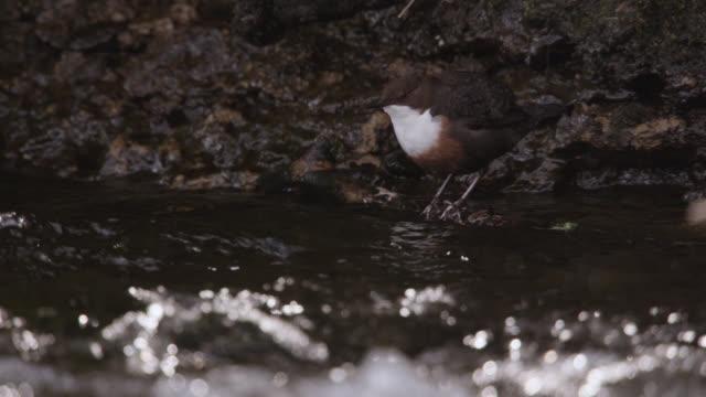 European dipper (Cinclus cinclus) bobs next to stream, Cumbria, England