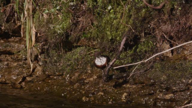 European dipper (Cinclus cinclus) carries moss nesting material to nest, Cumbria, England