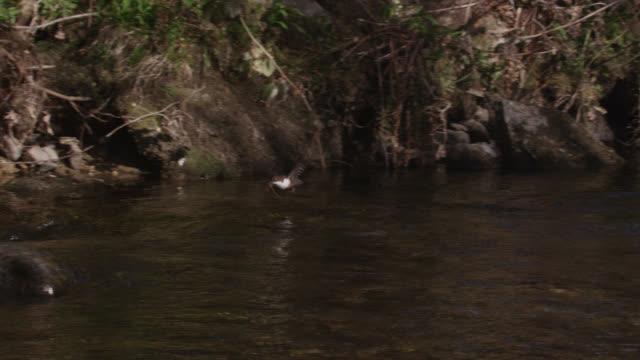 European dipper (Cinclus cinclus) flies over stream, Cumbria, England