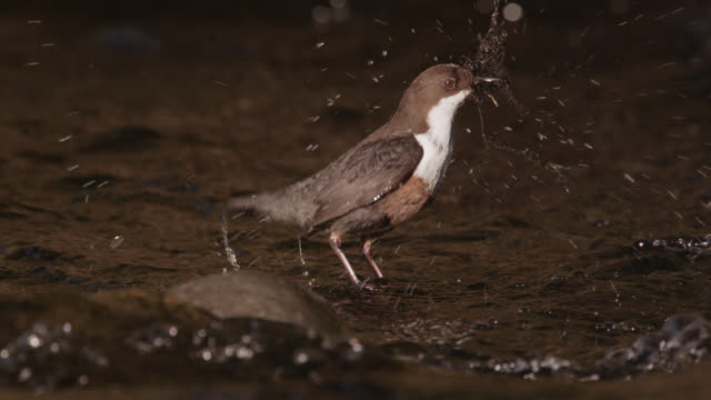 european dipper (cinclus cinclus) gathers moss nesting material, cumbria, england - moss stock videos & royalty-free footage