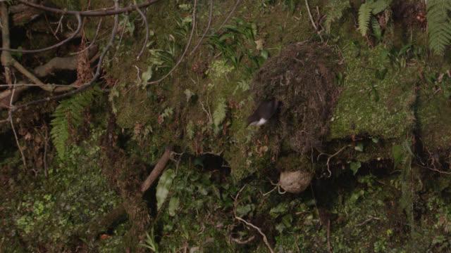 European dipper (Cinclus cinclus) leaves moss nest by stream, Cumbria, England