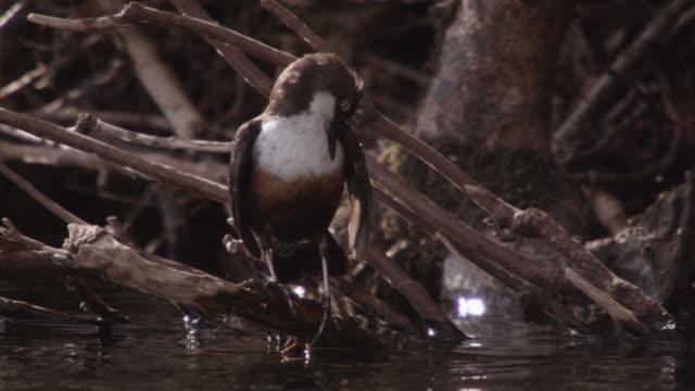 vidéos et rushes de european dipper (cinclus cinclus) preens its feathers, cumbria, england - se lisser les plumes