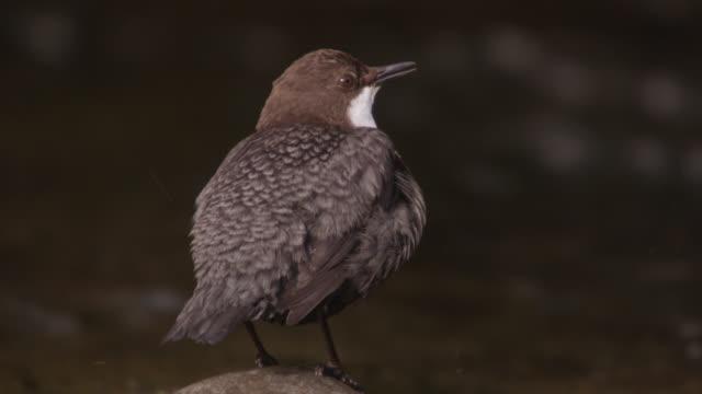 European dipper (Cinclus cinclus) sings by stream, Cumbria, England