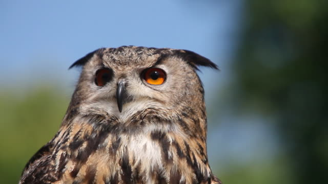 cu european eagle owl looking around / vieux pont, normandy,  france - becco video stock e b–roll