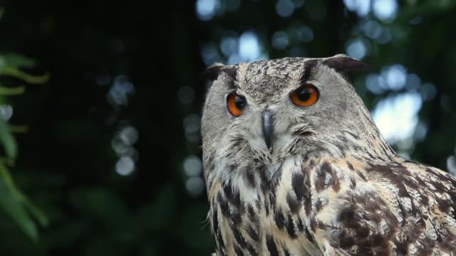 stockvideo's en b-roll-footage met cu european eagle owl looking around / vieux pont, normandy,  france - uil
