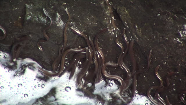 european eel elvers (anguilla anguilla) migrating upstream, being washed back into river, river teifi, wales - ウツボ科点の映像素材/bロール