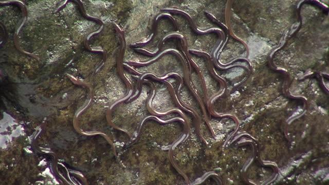 european eel elvers (anguilla anguilla) migrating upstream, river teifi, wales - meeraal stock-videos und b-roll-filmmaterial