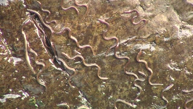 European eel elvers (Anguilla anguilla) migrating upstream, River Teifi, Wales