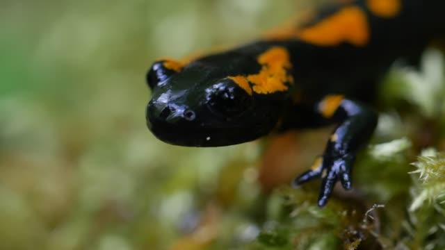 european fire salamander (salamandra salamandra) crawls over moss - salamander stock videos and b-roll footage