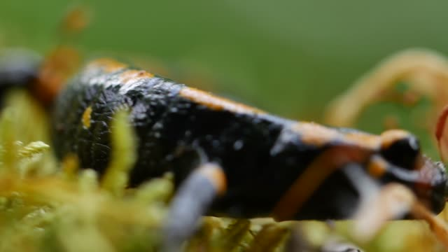 european fire salamander (salamandra salamandra) crawls over moss - baden wurttemberg stock videos and b-roll footage