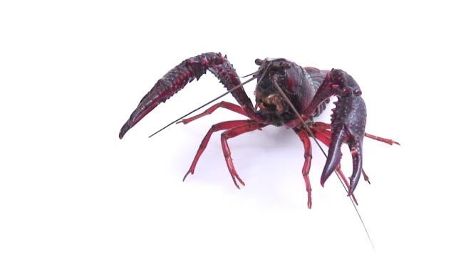 European freshwater crayfish