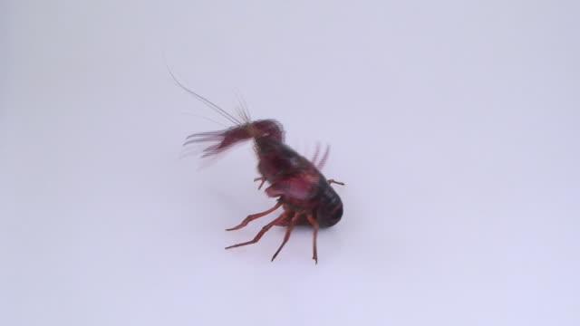 europäische freshwater crayfish - flußkrebs tier stock-videos und b-roll-filmmaterial