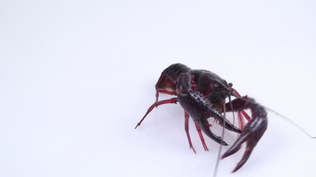stockvideo's en b-roll-footage met european freshwater crayfish - voelspriet
