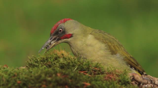 vídeos de stock e filmes b-roll de european green woodpecker - bico