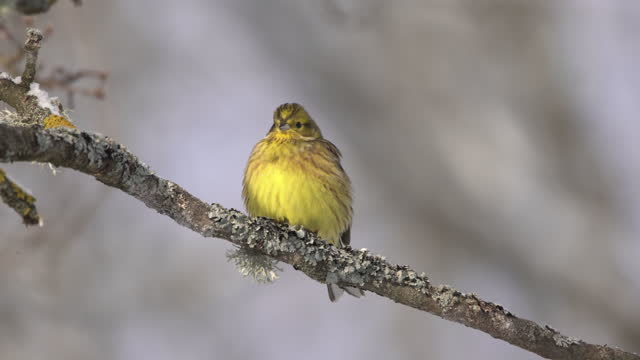 european greenfinch (chloris chloris) and snowing in chernobyl zone - limb body part stock videos & royalty-free footage