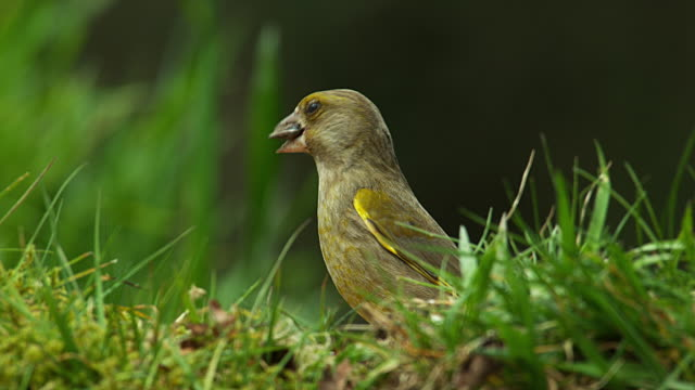 European Greenfinch, carduelis chloris, Female Eating Seeds, Normandy, Real Time 4K