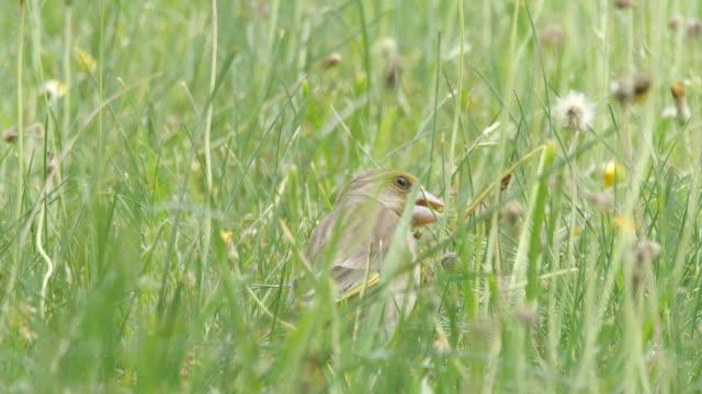 vídeos de stock, filmes e b-roll de greenfinch europeu come sementes na grama - parte do corpo animal