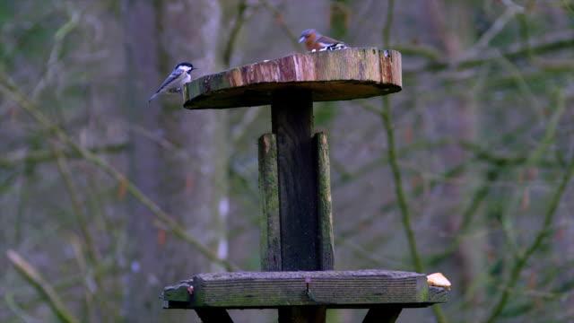 european grey squirrel, chaffinch, blue & coal tit on bird table, cayton bay, scarborough, england - 英国スカーブラ点の映像素材/bロール