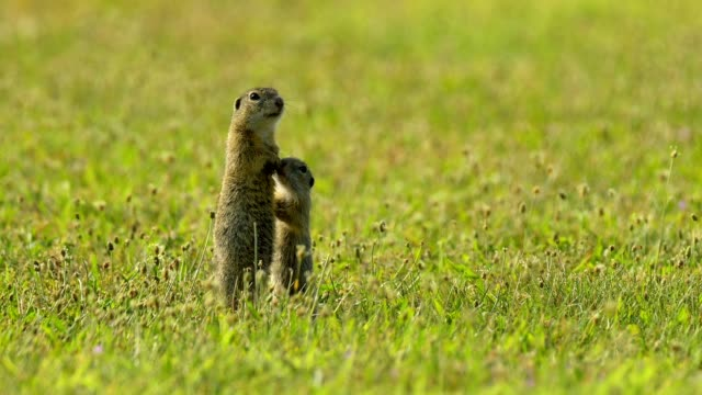 european ground squirrel, spermophilus citellus - young animal stock-videos und b-roll-filmmaterial